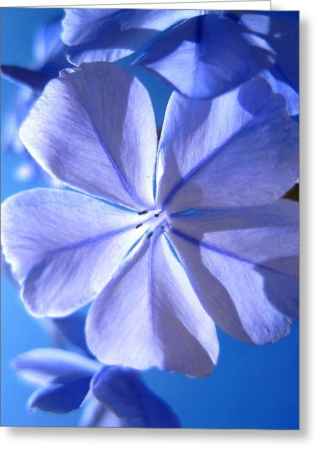 Plumbago Flowers Greeting Card by Catherine Natalia  Roche
