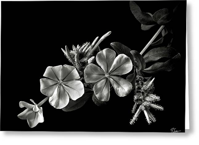 Plumbago In Black And White Greeting Card
