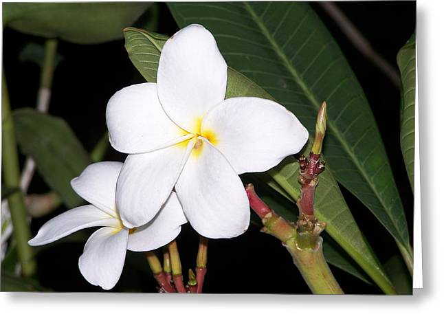 Plumeria Greeting Card by Steve Huang