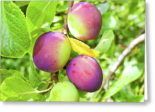 Plums Greeting Card by Tom Gowanlock