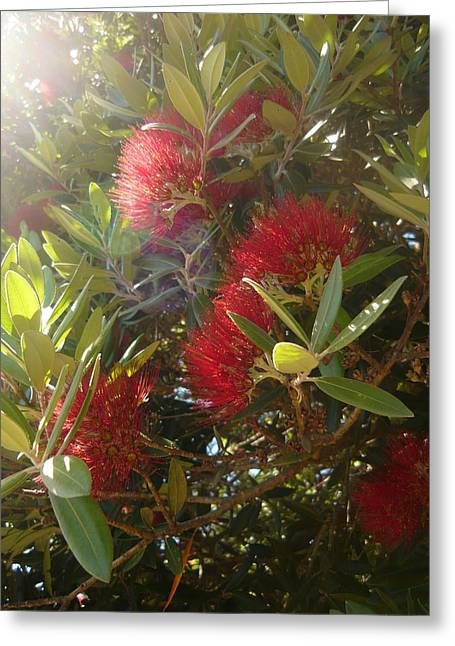 Pohutukawa Greeting Card by Amy Jayne Roper