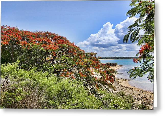 Poinciana In Bloom Greeting Card by Douglas Barnard