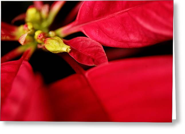 Poinsetta2 Greeting Card by Sherry Davis