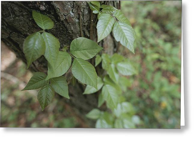 Poison Ivy Climbs A Pine Tree Greeting Card