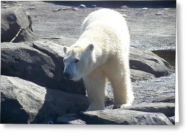 Polar Bear Looks Greeting Card by Geri Chamberlin