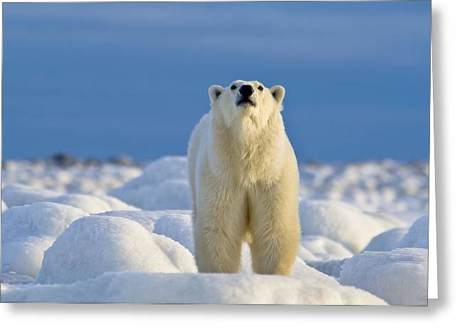 Polar Bear On Ice Greeting Card