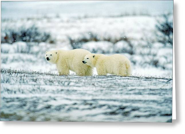 Polar Bears, Churchill, Manitoba Greeting Card by Mike Grandmailson