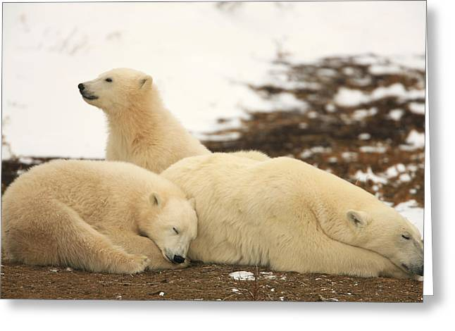 Polar Bears, Mother And Two Cubs Greeting Card