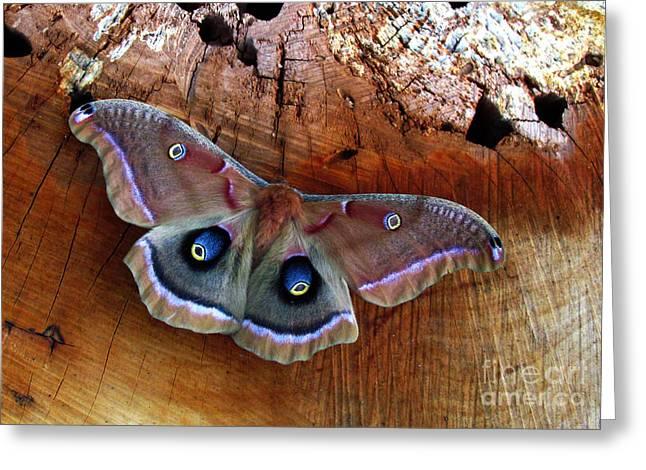 Polyphemus Moth Greeting Card
