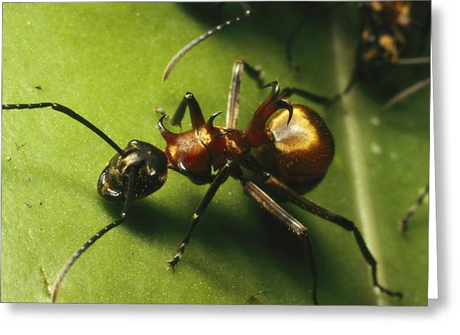 Polyrhachis Ant On A Strangler Fig Leaf Greeting Card by Tim Laman