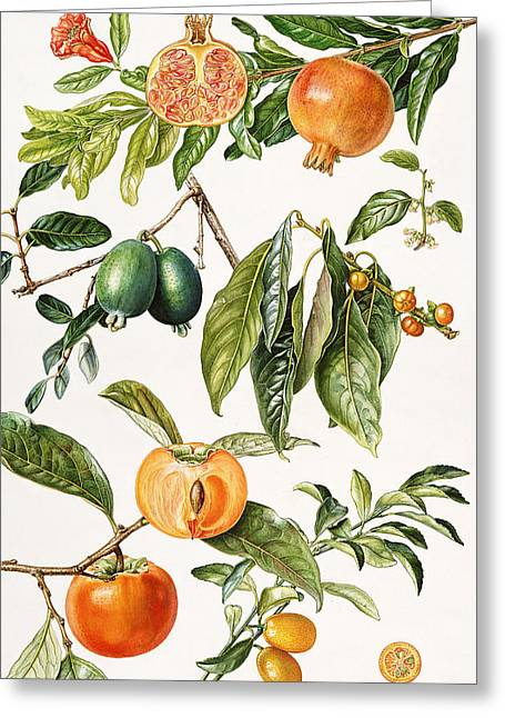 Pomegranate And Other Fruit Greeting Card