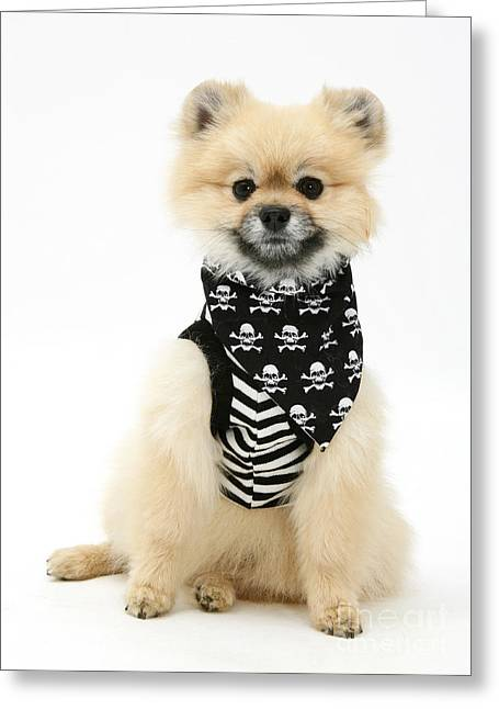 Pomeranian Pirate Greeting Card