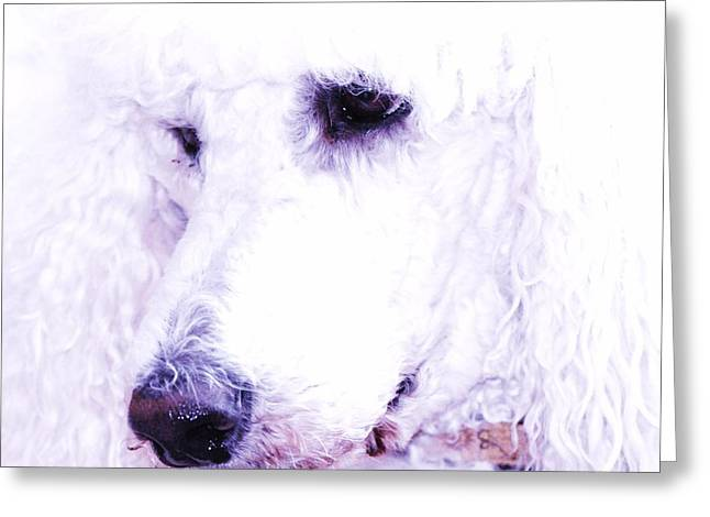Poodle Face Greeting Card