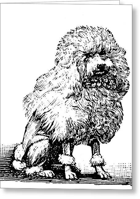 Poodle Greeting Card by Granger