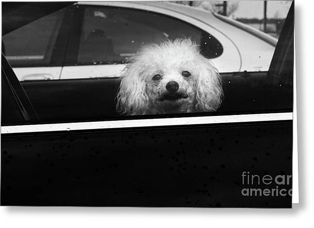Poodle In A Car Greeting Card by Susan Isakson
