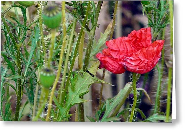 Popped Poppy Greeting Card by Rdr Creative