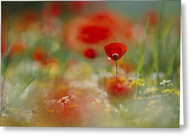 Poppies And Wildflowers In The Desert Greeting Card by Annie Griffiths