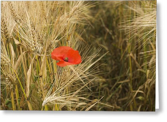 Poppies  In A Field Of Barley   Greeting Card by Bernard Jaubert