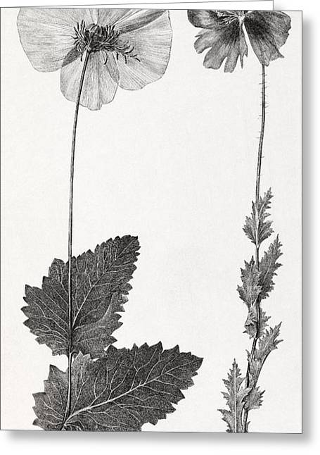 Poppy, 19th Century Artwork Greeting Card