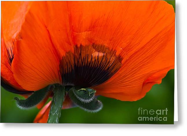 Poppy Close-up Greeting Card