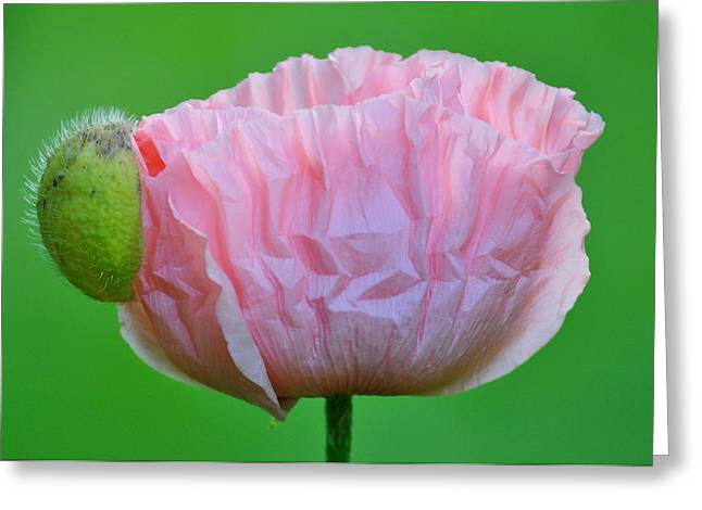 Greeting Card featuring the photograph Poppy Emerges by Ronda Broatch
