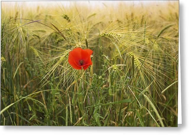Poppy  In A Field Of Barley  Greeting Card by Bernard Jaubert
