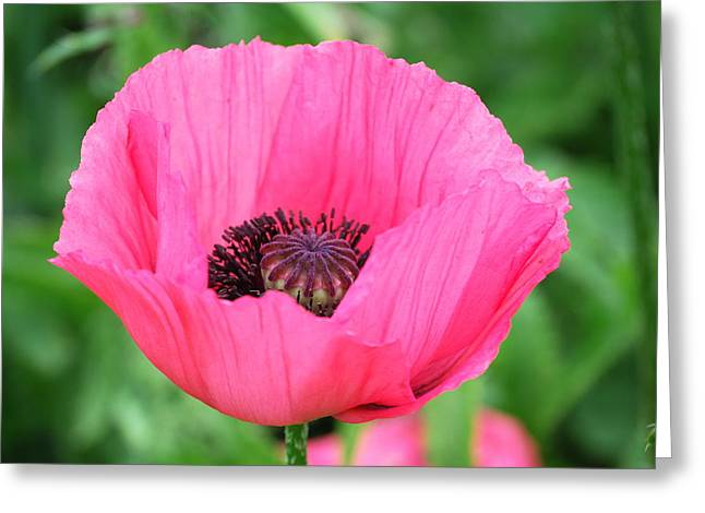 Poppy Greeting Card by Kathy Gibbons