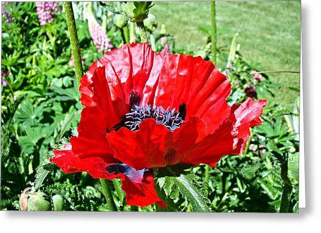Poppy Greeting Card by Nick Kloepping