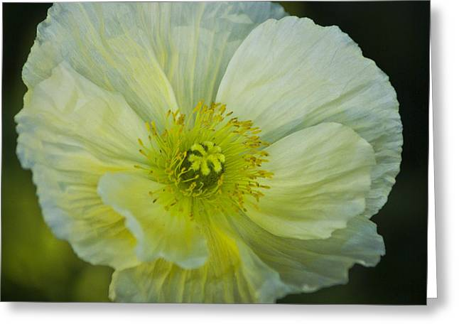 Poppy Night Out Greeting Card
