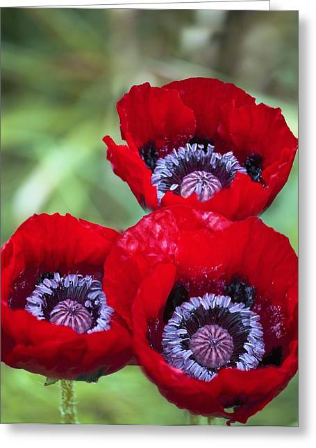 Poppy (papaver Orientale) Greeting Card by Maria Mosolova