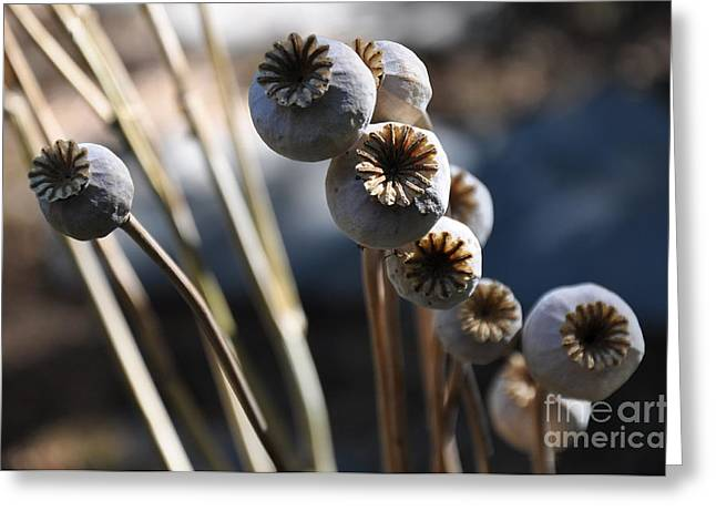 Poppy Seed Pods  2 Greeting Card by Tanya  Searcy