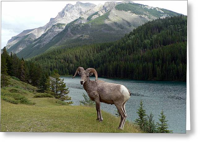 Portrait Of A Bighorn Sheep At Lake Minnewanka  Greeting Card
