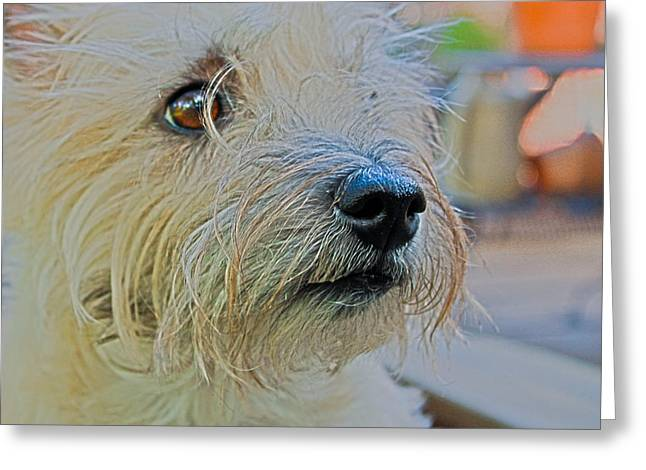 Portrait Of A Cairn Terrier Greeting Card