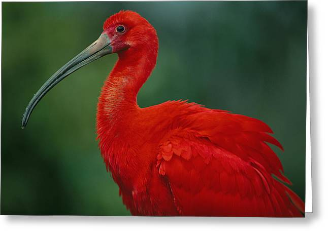 Portrait Of A Captive Scarlet Ibis Greeting Card