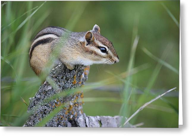 Greeting Card featuring the photograph Portrait Of A Chipmunk by Penny Meyers