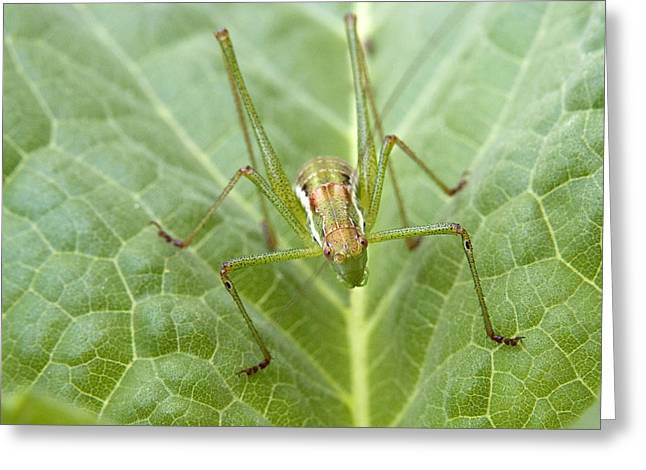 Portrait Of A  Cricket  Greeting Card by Cliff Norton