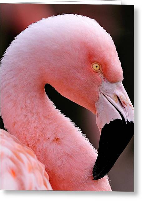 Portrait Of A Flamingo Greeting Card