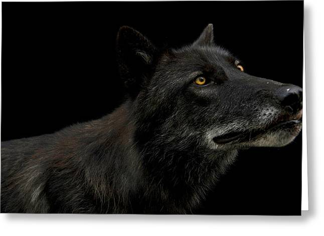 Portrait Of A Gray Wolf, Canis Lupus Greeting Card by Joel Sartore