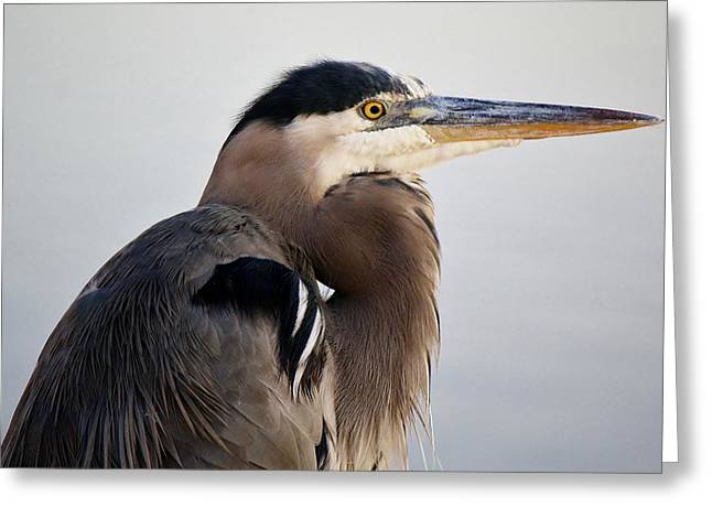 Portrait Of A Great Blue Heron Greeting Card by Paulette Thomas