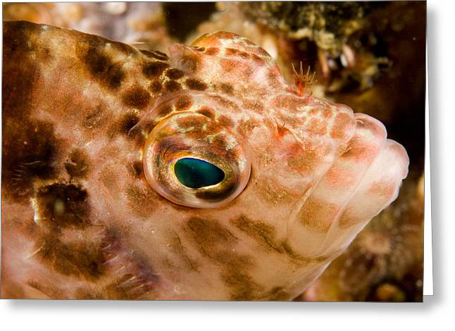 Portrait Of A Hawkfish Cirrhitichthys Greeting Card by Tim Laman