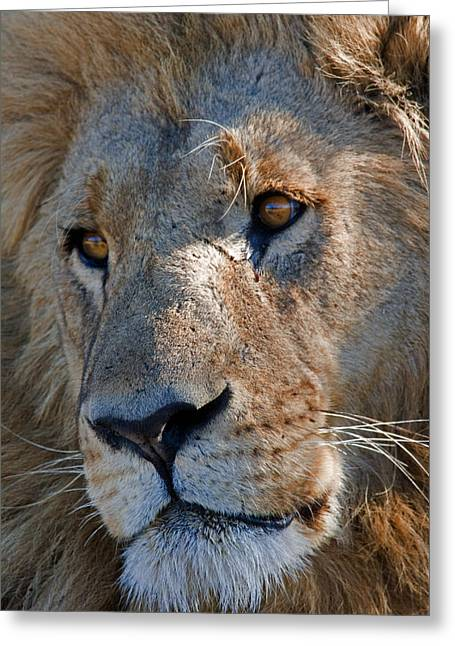 Portrait Of A Male African Lion Greeting Card by Beverly Joubert