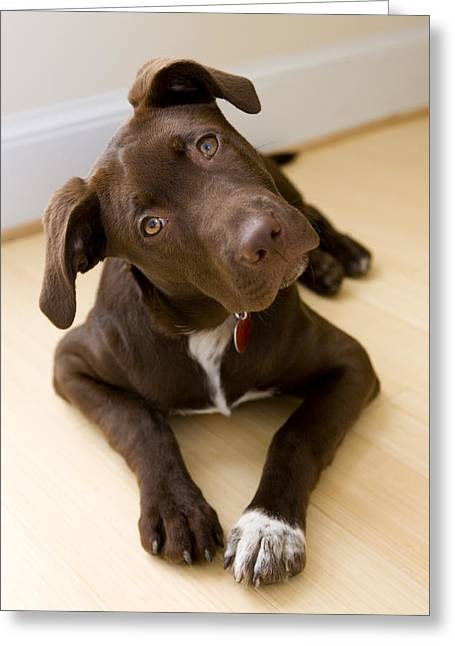 Portrait Of A Pet Mutt-chocolate Greeting Card