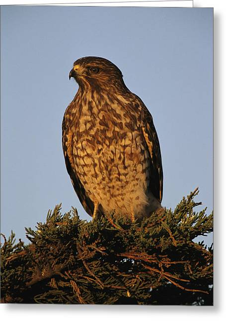 Portrait Of A Red Shouldered Hawk Greeting Card by Roy Toft