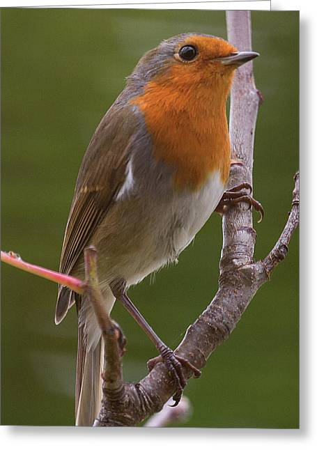 Portrait Of A Robin Greeting Card
