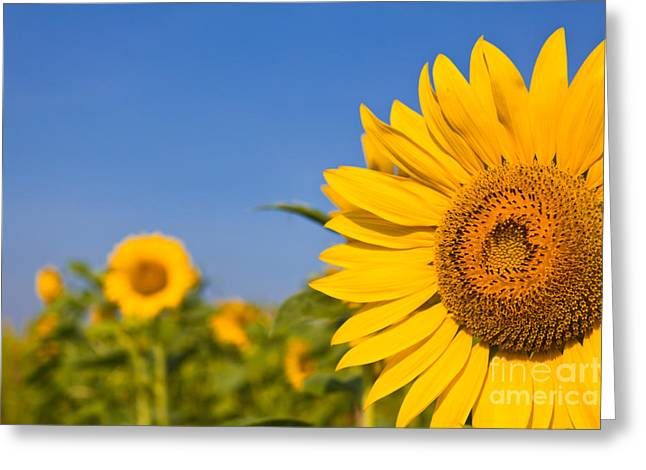 Portrait Of A Sunflower In The Field  Greeting Card