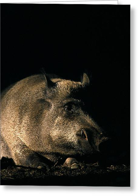 Portrait Of A Wild Boar Greeting Card by Ulrich Kunst And Bettina Scheidulin