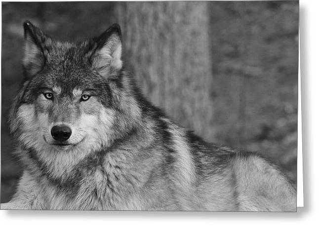 Portrait Of A Wolf Greeting Card by Kate Purdy