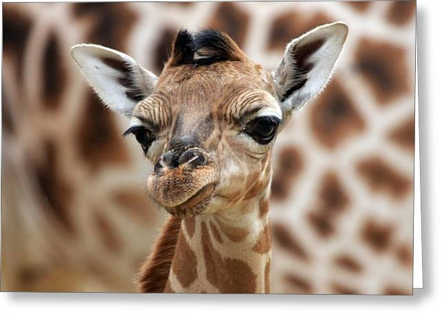 Portrait Of A Young Giraffe Greeting Card by Marcel Schauer