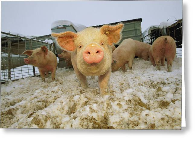 Portrait Of A Young Pig In A Snowy Pen Greeting Card by Joel Sartore