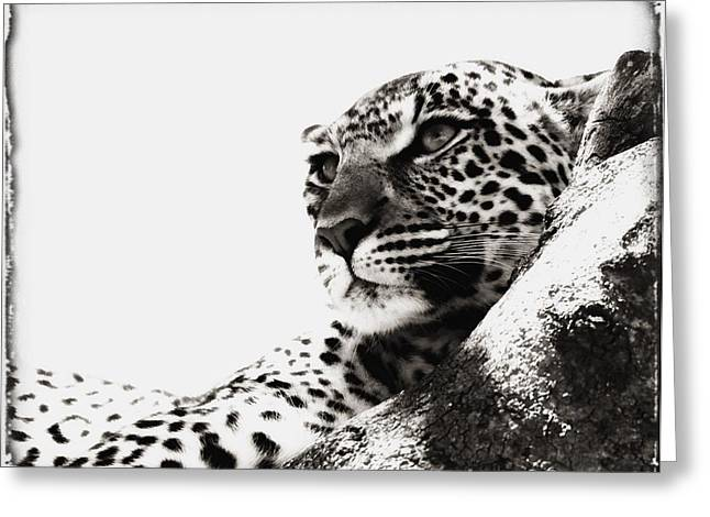 Portrait Of An African Leopard Greeting Card by Carson Ganci
